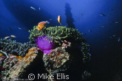 Pink clown fish and forward King post of the Shinkoku Mar... by Mike Ellis 